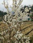 漫山遍野的櫻桃樹花