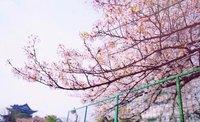 武汉的樱花,好美哦,花落如霰