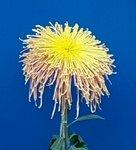 绚丽多姿的菊花